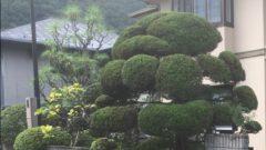 大きなカイヅカがある庭で。